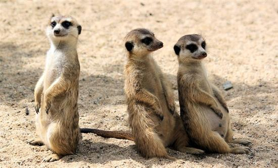 OSF has announced the return of its hit natural history series Meerkat Manor: Rise of the Dynasty